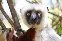Endangered Coquerel's Sifaka Lemur (Propithecus coquereli) Royalty Free Stock Photos