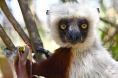 Endangered Coquerel's Sifaka Lemur (Propithecus coquereli) Stock Photography