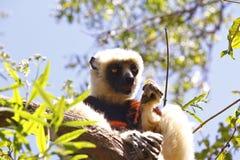 Endangered Coquerel's Sifaka Lemur (Propithecus coquereli). Madagascar Royalty Free Stock Photos