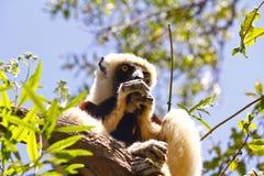 Endangered Coquerel's Sifaka Lemur (Propithecus coquereli) Royalty Free Stock Images