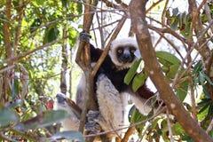 Endangered Coquerel's Sifaka Lemur (Propithecus coquereli). Madagascar Stock Photos