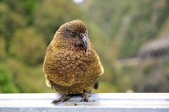 Endangered curious kea Royalty Free Stock Image