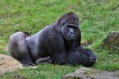 Endangered eastern gorilla on the green grassland. Silverback male, Gorilla beringei, rare african animal. Animals in captivity stock images