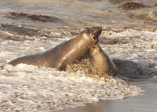 Endangered Elephant Seals mating Stock Photography