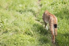 Endangered European Lynx. An endangered European Lynx walking through long grass Royalty Free Stock Photography