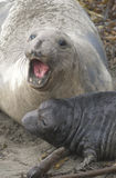 Endangered Female Elephant Seal Royalty Free Stock Images