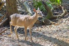 Endangered Florida Key Deer. Closeup of an endangered Florida Key deer Stock Photo