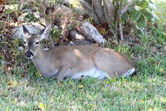 Endangered Florida Key Deer (Odocoileus virginianus clavium) royalty free stock photo