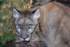 Endangered Florida Panther. A closeup of the endangered Florida Panther (AKA Cougar, Mountain Lion, Puma Stock Photography