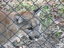 Endangered Florida Panther. This young Florida Panther in a wildlife park was rescued after apparently being abandoned by its mother, and cannot be returned to Royalty Free Stock Images
