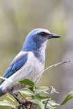 Endangered Florida Scrub-Jay. (Aphelocoma coerulescens) perched on a branch Royalty Free Stock Photos
