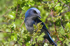 Free Endangered Florida Scrub-Jay Royalty Free Stock Photos - 25276428