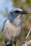Endangered Florida Scrub-Jay Stock Photo