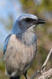 Endangered Florida Scrub-Jay stock photo