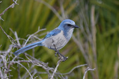 Endangered Florida Scrub-Jay Royalty Free Stock Photos