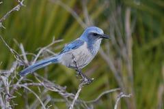 Endangered Florida Scrub-Jay royalty free stock photos