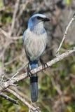 Endangered Florida Scrub-Jay stock image