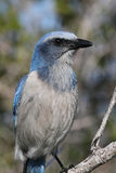 Endangered Florida Scrub-Jay Stock Images