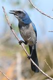 Endangered Florida Scrub-Jay Royalty Free Stock Image