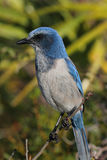 Endangered Florida Scrub-Jay (Aphelocoma coerulescens) Royalty Free Stock Photo