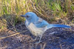 Florida Endangered Scrub Jay In It`s Scrub Environment stock photography