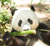 Endangered Giant Panda Head and Shoulders Eating Bamboo Stalk royalty free stock image