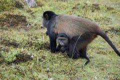 Endangered golden monkey, with baby Volcanoes National Park, Rwa. Endangered golden monkey with baby in Virunga forest of Volcanoes National Park, Rwanda Stock Image