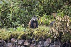 Endangered golden monkey on buffalo wall, Volcanoes National Par. Endangered golden monkey sitting on buffalo wall in Virunga forest of Volcanoes National Park Royalty Free Stock Images
