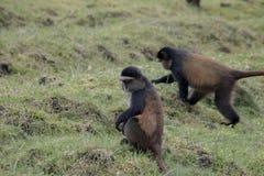 Endangered golden monkey crop raiding, Volcanoes National Park,. Endangered golden monkey crop raiding  in Virunga forest of Volcanoes National Park, Rwanda Royalty Free Stock Photo