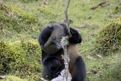 Endangered golden monkey eating, Volcanoes National Park, Rwanda. Endangered golden monkey eating tree in Virunga forest of Volcanoes National Park, Rwanda Stock Photos