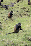 Endangered golden monkey, foraging in field,  Volcanoes National. Endangered golden monkey foraging in potato field in Virunga forest of Volcanoes National Park Royalty Free Stock Photography