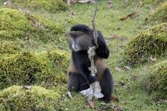 Endangered golden monkey portrait, Volcanoes National Park, Rwan. Endangered golden monkey portrait in Virunga forest of Volcanoes National Park, Rwanda Royalty Free Stock Image