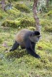 Endangered golden monkey profile, Volcanoes National Park, Rwand. Endangered golden monkey profile  in Virunga forest of Volcanoes National Park, Rwanda Royalty Free Stock Photos