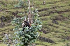 Endangered golden monkey, sitting in tree,  Volcanoes National P. Endangered golden monkey sitting in eucalyptus tree in Virunga forest of Volcanoes National Royalty Free Stock Images