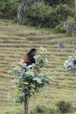 Endangered golden monkey on top of tree, Volcanoes National Park. Endangered golden monkey on top of eucalyptus tree in Virunga forest of Volcanoes National Park Stock Photography