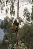 Endangered golden monkey in tree Volcanoes National Park, Rwanda. Endangered golden monkey feeding in eucalyptus tree  in Virunga forest of Volcanoes National Stock Images