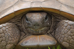 Endangered Gopher Tortoise Stock Photo