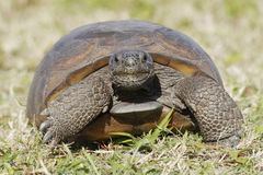 Endangered Gopher Tortoise - Florida Royalty Free Stock Photo