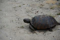 Tortoise walking on the sand on a beach Stock Photo