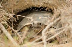 Endangered Gopher Tortoise Turtle. Endangered Gopher Tortoise in den at Reed Bingham State Park georgia stock images