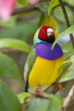 Endangered Gouldian Finch with red head Royalty Free Stock Photos