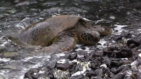 Endangered Green Sea Turtle on a Maui Beach. An endangered green sea turtle resting on a rocky Maui beach stock video footage