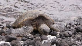 Endangered Green Sea Turtle on Rocky Beach. An endangered green sea turtle resting on a rocky Maui beach stock video footage