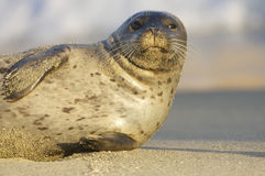 Endangered Harbor Seal. On tan sand beach in La Jolla California Royalty Free Stock Photography