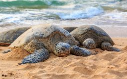 Endangered Hawaiian Green Sea Turtles on the beach at North Shore Oahu Hawaii. Endangered Hawaiian Green Sea Turtles with barnacles on their shells, resting on a royalty free stock image