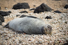 Endangered Hawaiian Monk asleep on rocks Stock Image