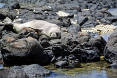Endangered Hawaiian Monk Seal Royalty Free Stock Photo