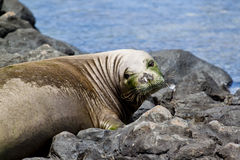 Endangered Hawaiian Monk Seal. At Kaena Point on the Island of Oahu royalty free stock image