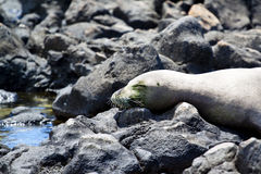 Endangered Hawaiian Monk Seal. At Kaena Point on the Island of Oahu royalty free stock photos