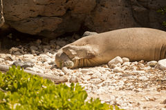 Endangered Hawaiian Monk Seal. At Kaena Point on the Island of Oahu royalty free stock photography